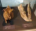 Musée-forum de l'Aurignacien - Collection - Herbivores et carnivores - 03 - 2016-05-22.jpg