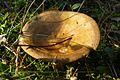 Mushrooms of Puszcza Zielonka (Trzaskowo) (4).JPG
