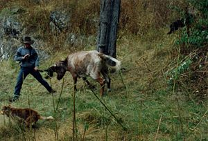 Muster (livestock) - Mustering feral cattle can be very dangerous.