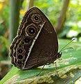 Mycalesis mineus - Dark-branded Bushbrown 02.JPG