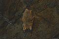 Myotis myotis-Grotta tre Livelli-Etna.JPG