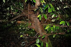Magnoliales - Myristica fragrans tree from Myristicaceae in Goa, India.