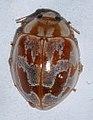 Myrrha-octodecimguttata-01-fws.jpg