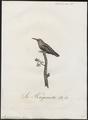 Myzomela pusilla - 1802 - Print - Iconographia Zoologica - Special Collections University of Amsterdam - UBA01 IZ19200003.tif