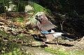 Nötskrika Eurasian Jay (15743855826).jpg