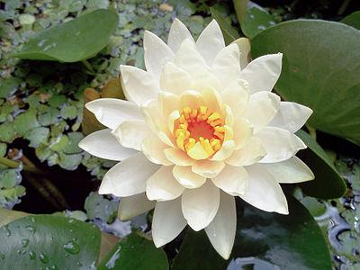 Nymphaea odorata blossom
