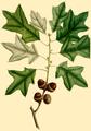 NAS-021g Quercus ilicifolia.png