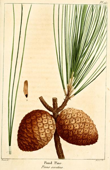 File:NAS-142 Pinus serotina.png