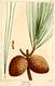 NAS-142 Pinus serotina.png