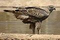 Nagzira Hawks.jpg