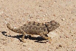 Namaqua chameleon - Namaqua chameleon in the Namib Desert