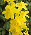 Narcissus jonquilla 2.jpg