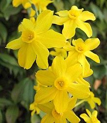 La jonquille de nos sous-bois dans FLORE FRANCAISE 220px-Narcissus_jonquilla_2