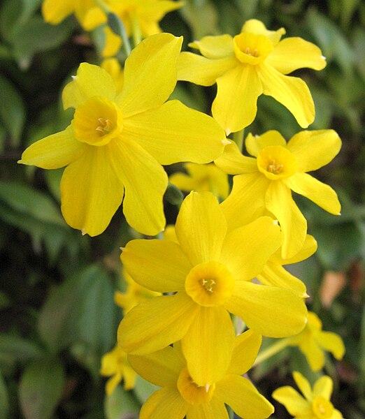 narcisa, floarea de paște