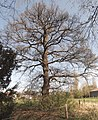 Naturdenkmal ND-H 187 Eiche in Stelingen.jpg