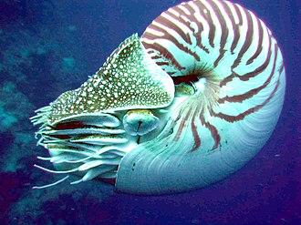 Chambered nautilus - Image: Nautilus side