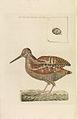 Nederlandsche vogelen (KB) - Scolopax rusticola (287pl).jpg
