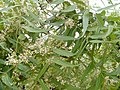 Neem flower of Tamilnadu.jpg