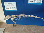 Indo-pacific finless porpoise (skeleton)