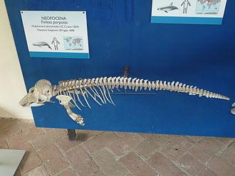 Finless porpoise - Skeleton in the collection of Museo di storia naturale e del territorio dell'Università di Pisa