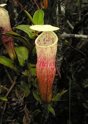 Nepenthes alba - An unusually reddish upper pitcher of N. alba growing on Mount Tahan