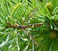 Nephrotoma appendiculata - Flickr - gailhampshire.jpg
