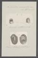 Neritina auriculata - - Print - Iconographia Zoologica - Special Collections University of Amsterdam - UBAINV0274 082 13 0007.tif