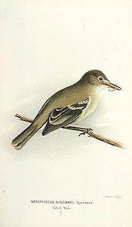 Cocos flycatcher species of bird