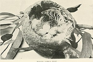 Archibald James Campbell - Nest and eggs of the Magpie-lark Grallina cyanoleuca, photograph by AJ Campbell, 1901