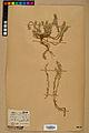 Neuchâtel Herbarium - Alyssum alyssoides - NEU000021942.jpg