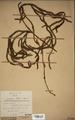 Neuchatel Herbarium Types NEU000113044.tif