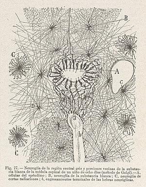 Neuroglia de la region central gris Wellcome L0040801.jpg