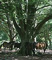 New Forest ponies find shade in Bratley Wood - geograph.org.uk - 41358.jpg
