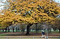 New Zealand - Oak tree - 9365.jpg