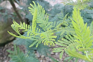 Acacia dealbata - New growth on Acacia dealbata