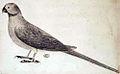 Newton's Parakeet.jpg