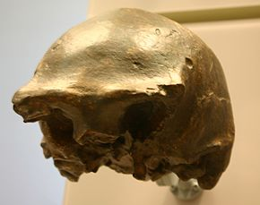 Description de l'image Ngandong 7-Homo erectus.jpg.