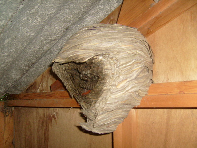 Wasp nest in a garden shed, Belgium, June 2010.
