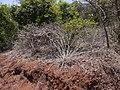 Nilgirianthus reticulatus (Stapf) Bremek. (17101230118).jpg