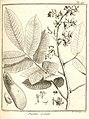 Nissolia quinata Aublet 1775 pl 297.jpg