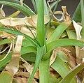 Niveophyllum caeruleum 2.jpg