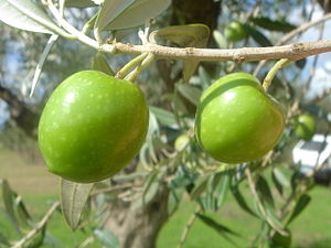 Nocellara del Belice - Nocellara del Belice olives are picked when still bright green