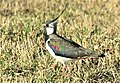 Northern Lapwing, Finland (51128772342).jpg