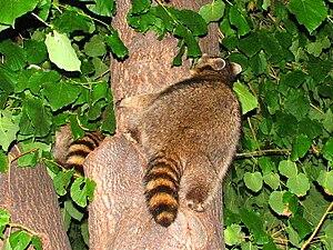 English: Two Northern Raccoons (Procyon lotor)...