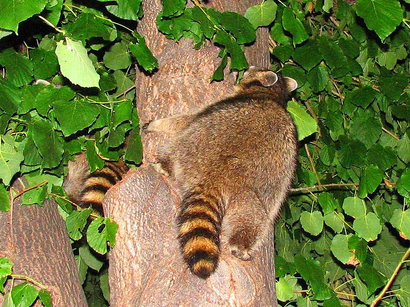 File:Northern Raccoons in tree.jpg