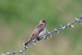 Northern rough-winged swallow 6952.jpg
