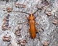 Noserius tibialis (Pascoe, 1857) 14 mm Cerambycidae Cerambycinae Xystrocerini (16240726241).jpg