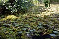 Nuphar lutea native waterlily at Woods Mill, Sussex Wildlife Trust, England 05.jpg
