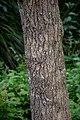 Nyssa sylvatica in Auckland Botanic Gardens 01.jpg