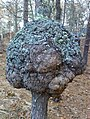 Oak burl.jpg